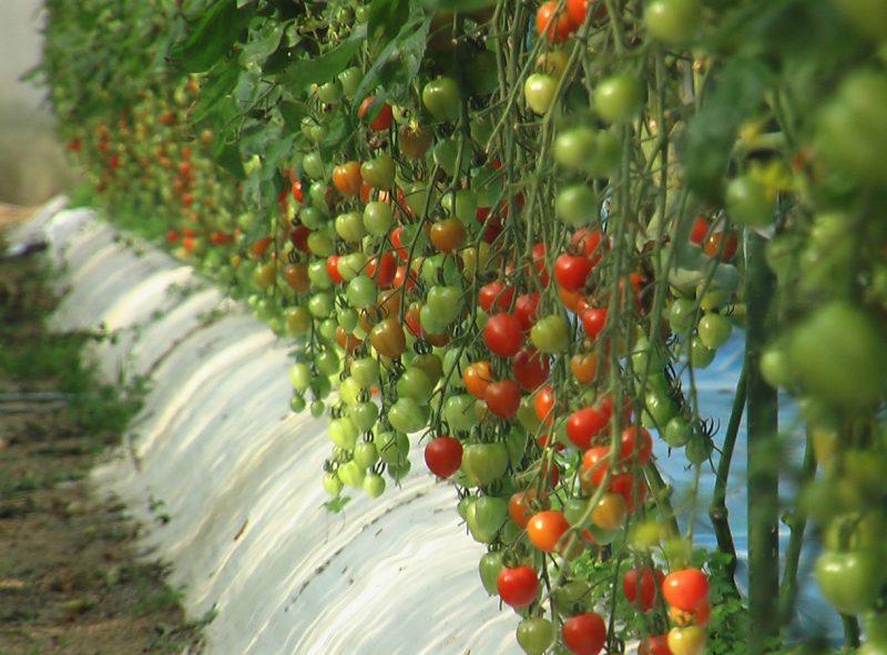 ミニトマトの潅水栽培  熊本県