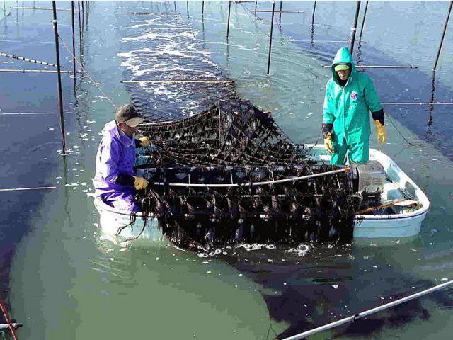 有明海の海苔養殖1