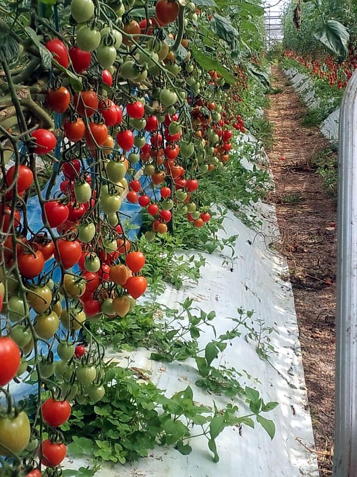 農業分野トマト